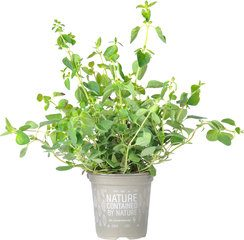 Oregano op pot